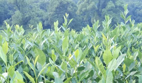 """茶饮市场增速放缓 萃取、超微粉碎设备为茶品""""蓄力"""""""